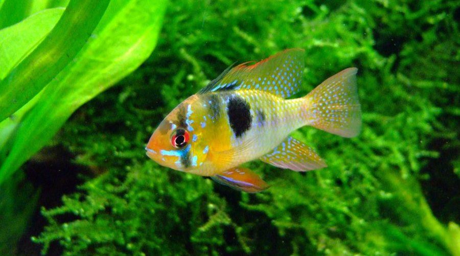 cichlid in freshwater aquarium