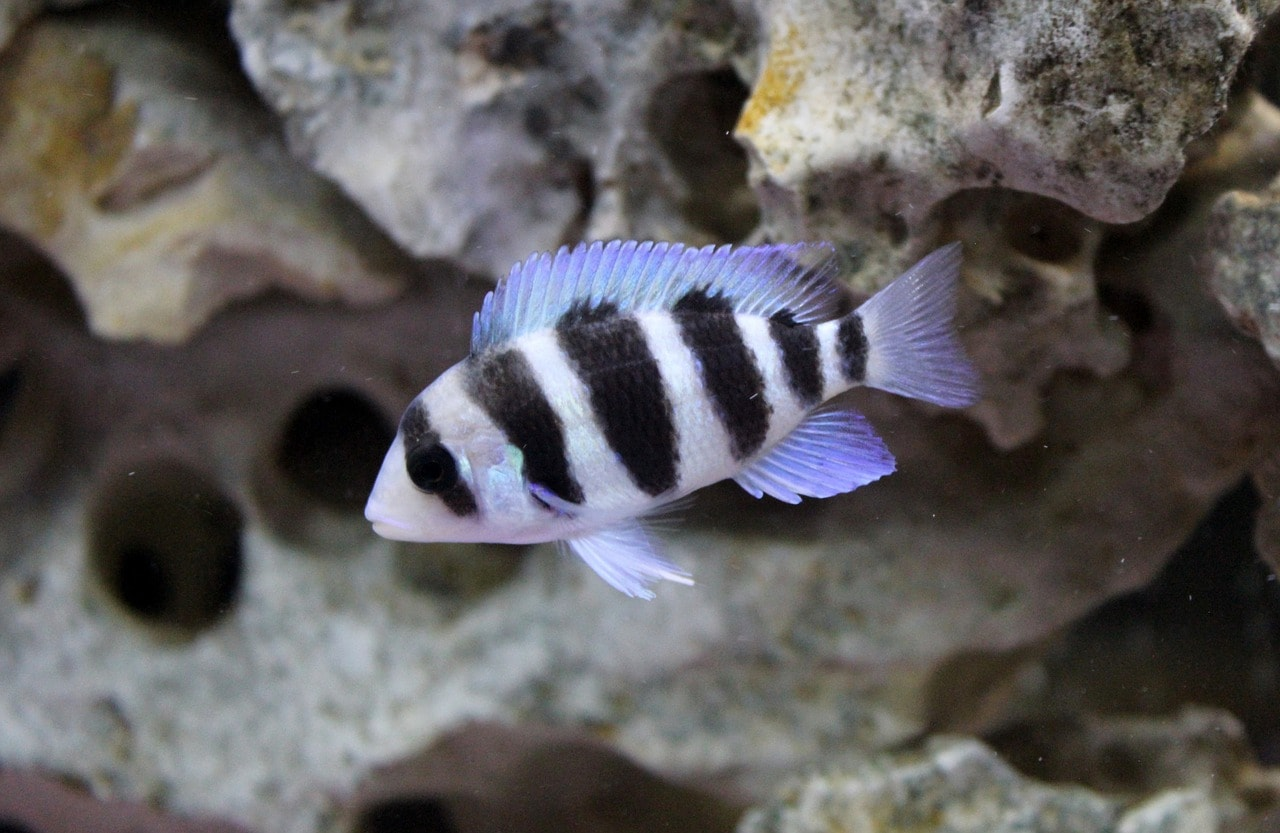 cichlid with stone in the background