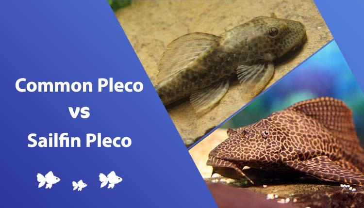 common pleco vs sailfin pleco
