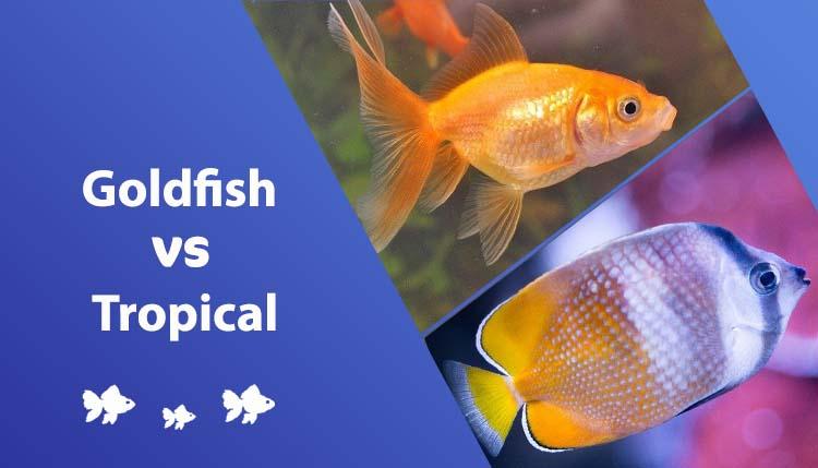 goldfish vs tropical fish