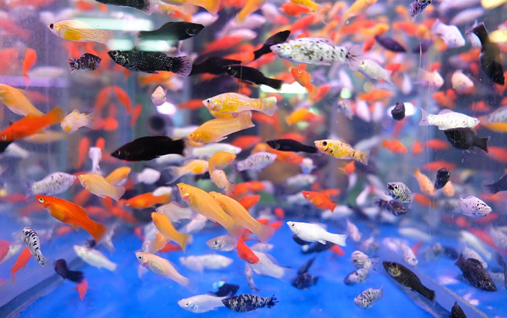 mix colors of platy fishes in a tank