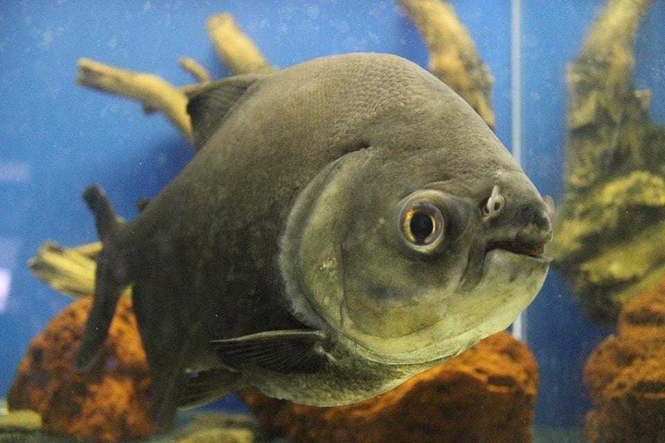 piranha inside tank