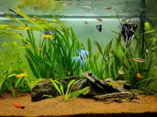 platy and other fishes in the tank