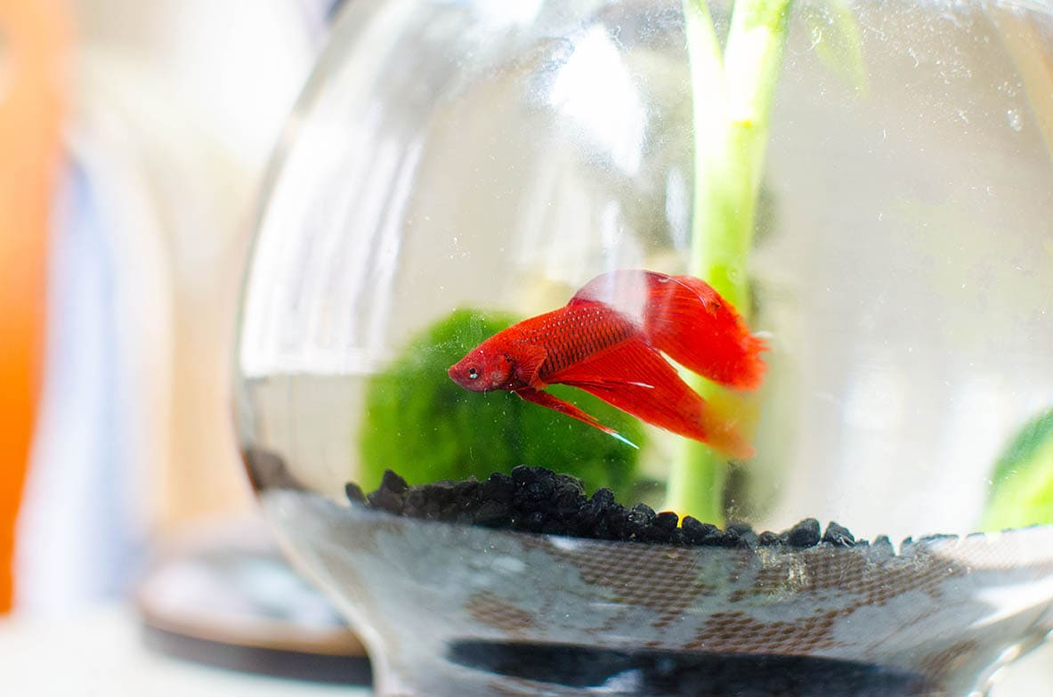 Red betta fish and moss ball in a bowl