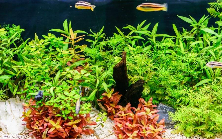 water wisteria Hygrophila difformis aquarium plant in tank