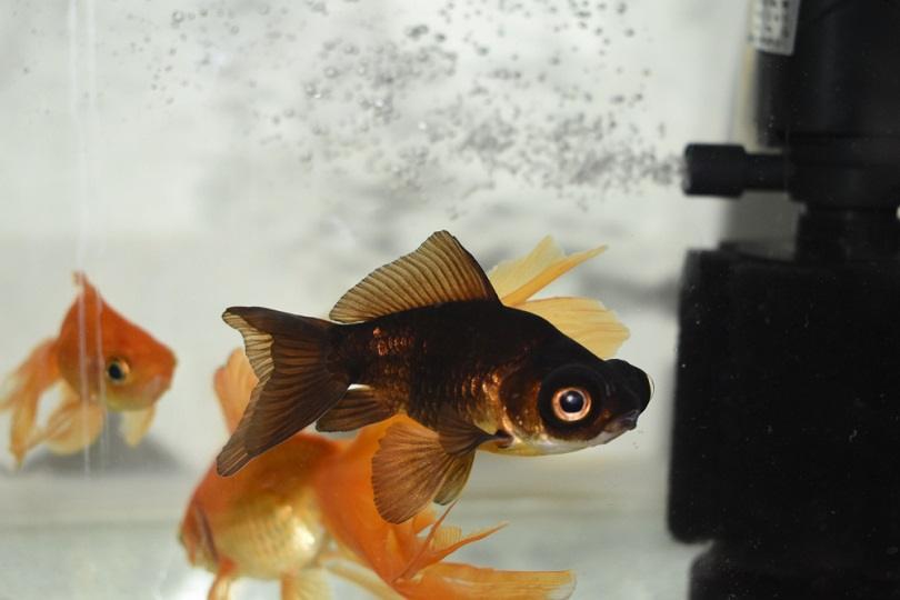 Black-moor-goldfish