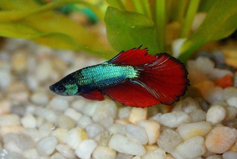 delta tail betta fish_Khairil Azhar Junos, Shutterstock