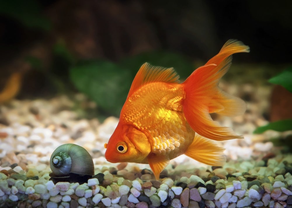 Goldfish-and-snail-in-aquarium-tank