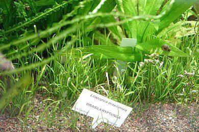 Lilaeopsis brasiliensis plant