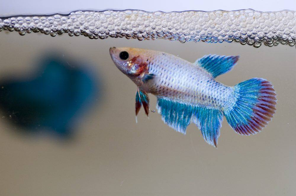 siamese female fighting fish guarding her newly laid eggs amongst the bubble nest.