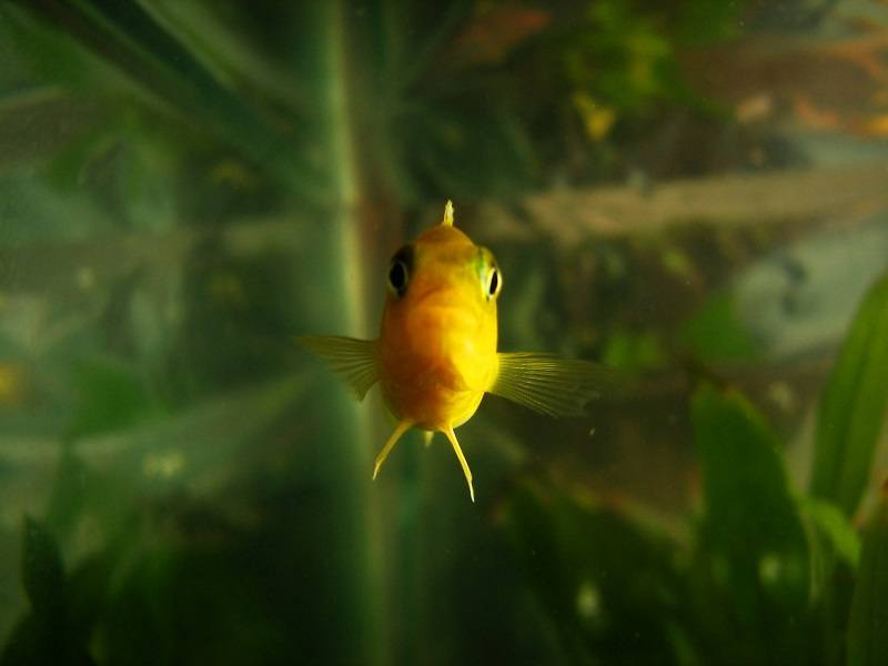Yellow Mbuna cichlid