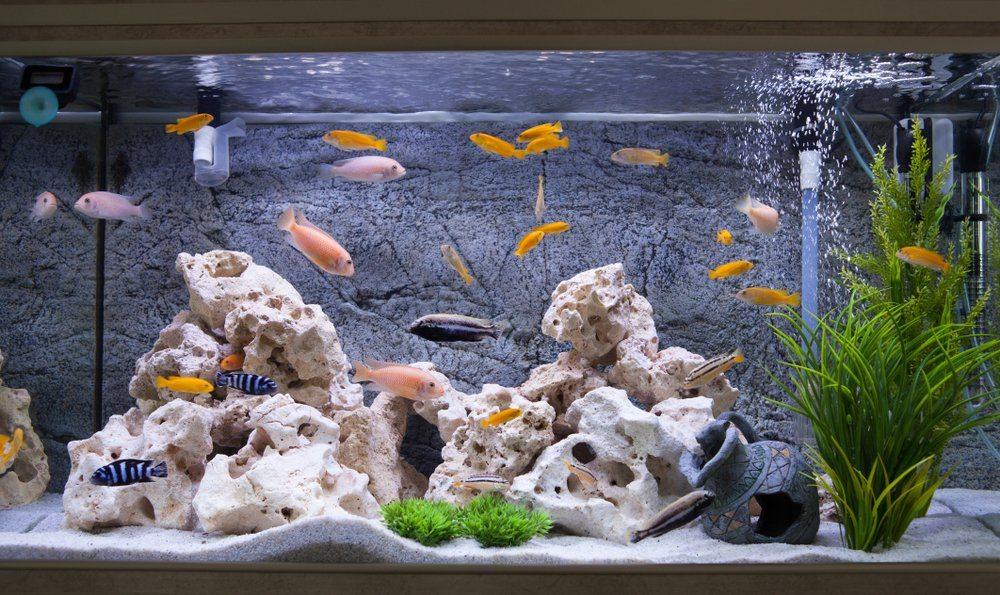 aquarium with coral, clay pot, cichlids, plants