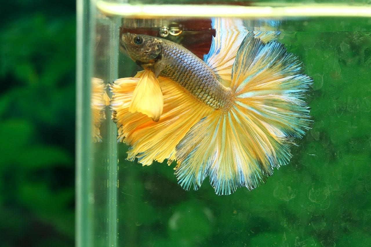 yellow betta fish