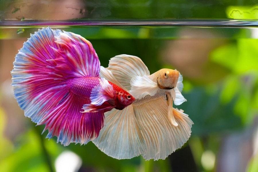 betta fish_panpilai paipa, Shutterstock