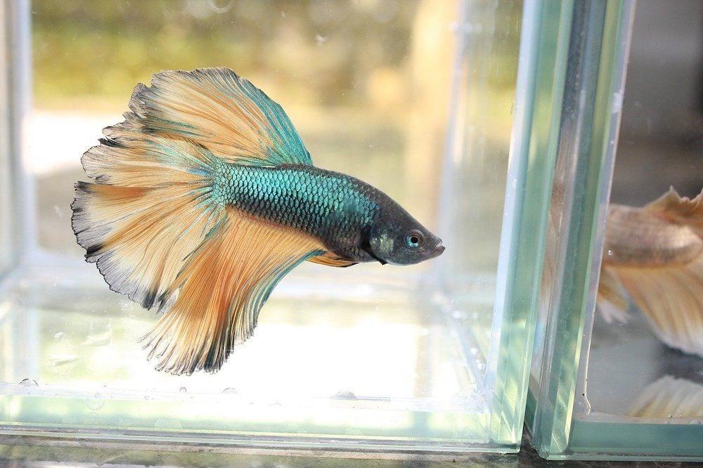 betta fish shimmery