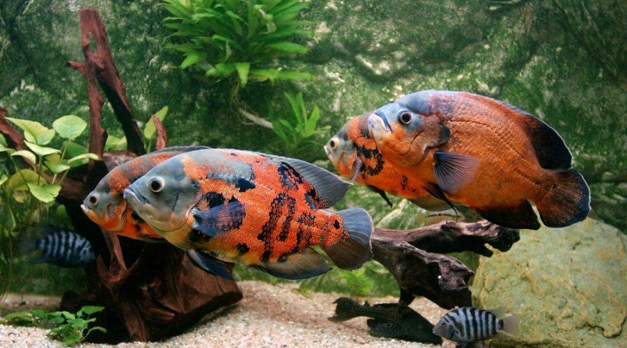 black and orange oscar fish