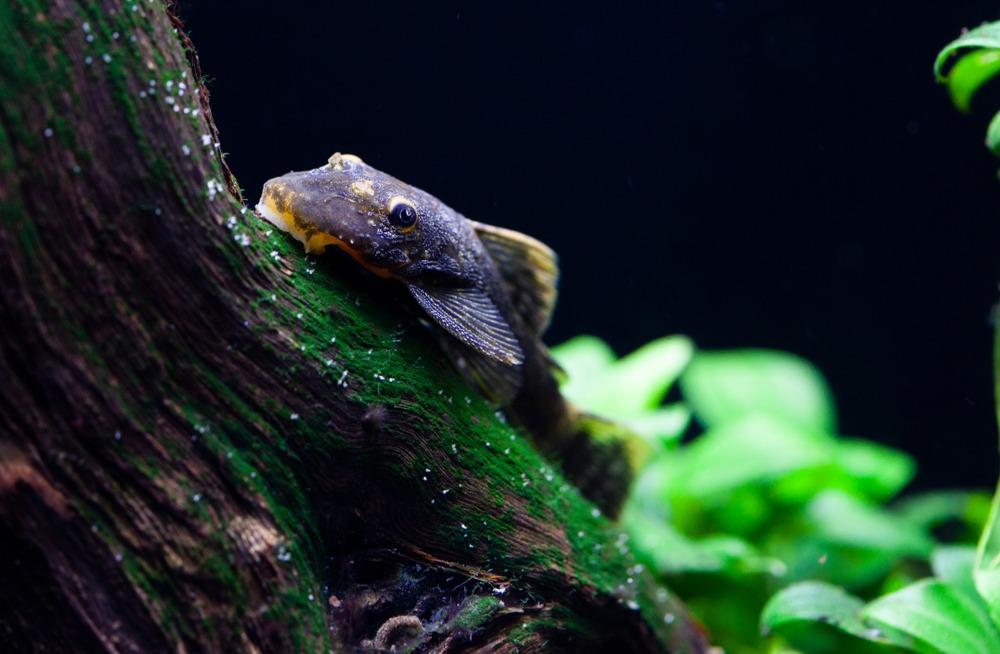 black pleco fish