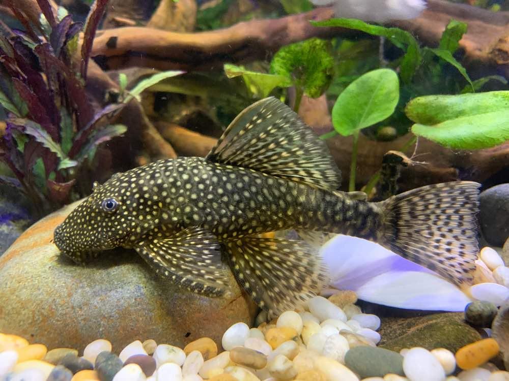 bristlenose pleco with plants in aquarium