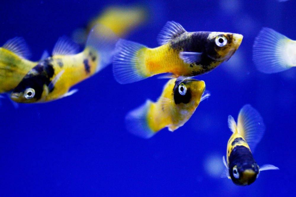 Bumble Bee Platy - Tropical Fish - Yellow - School of fish