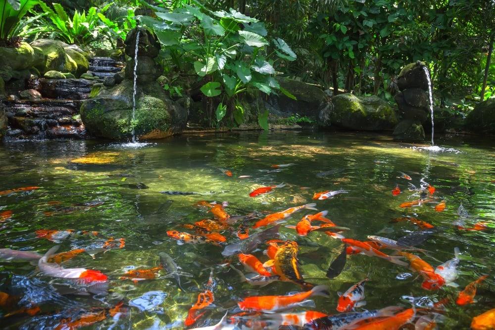 gold carp pond