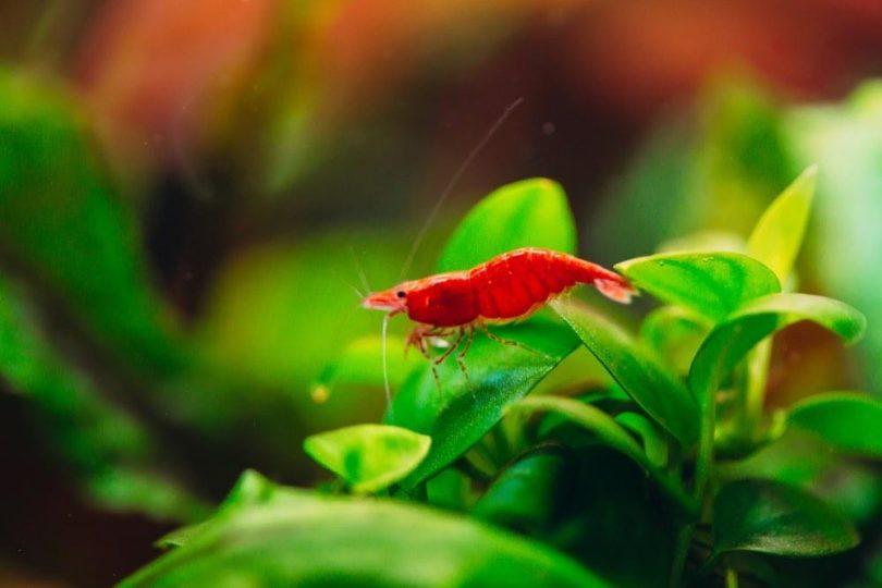 cherry shrimp climbing on plants
