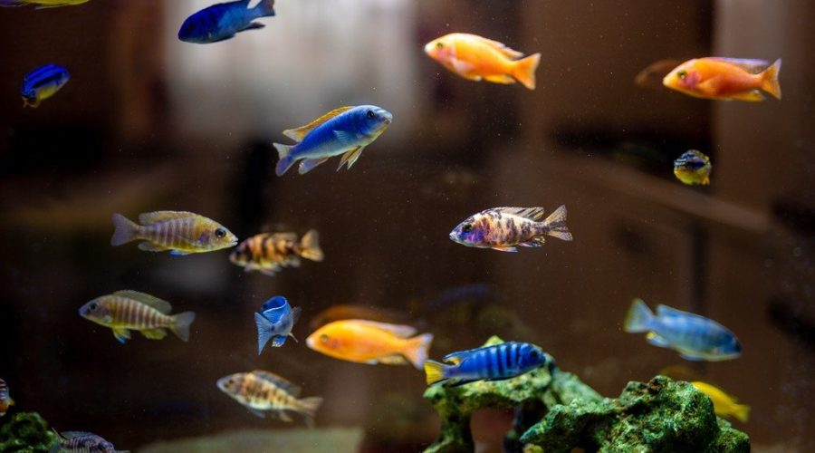 colorful cichlids swimming in tank