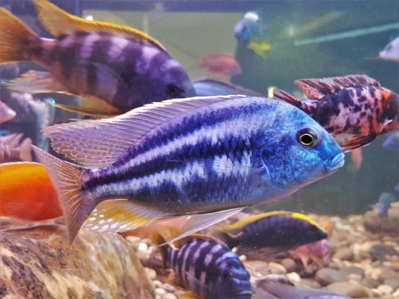 colorful mbuna cichlids in tank with rocks