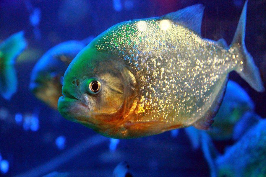colorful pirhana fish