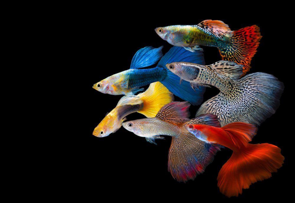 different types and colors of guppy rainbow fish