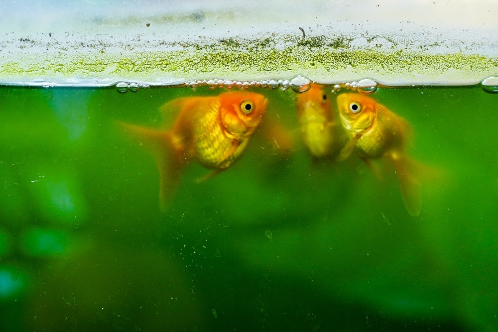 goldfish in dirty unclean tank
