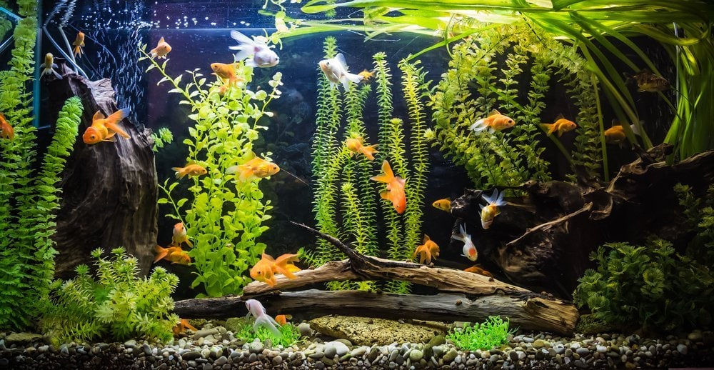 goldfish in planted tank with rocks, wood, and decorations
