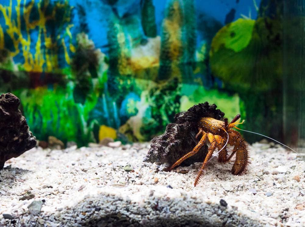 white spotted hermit crab in shell walking along sand in tank aquarium