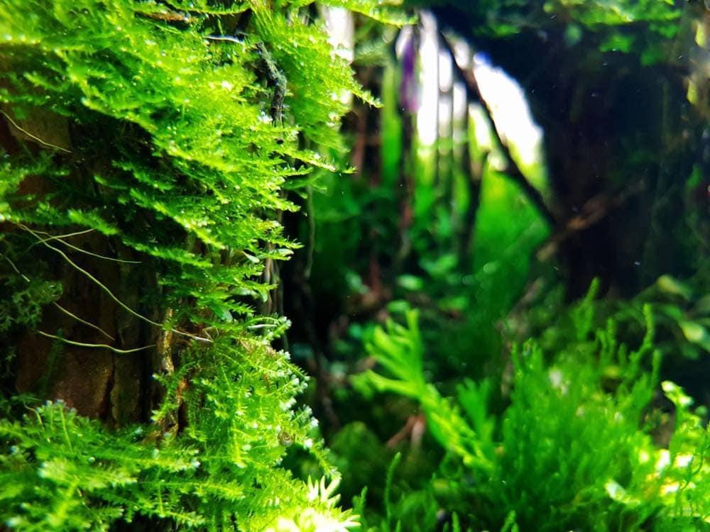 java moss in freshwater aquarium