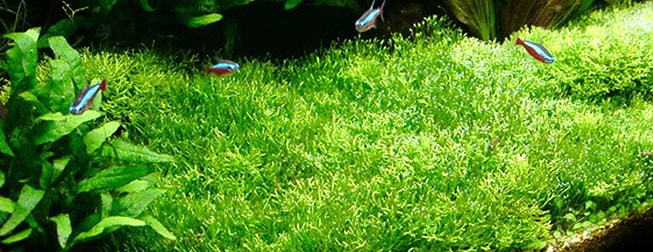Java Moss, a beginner plant.