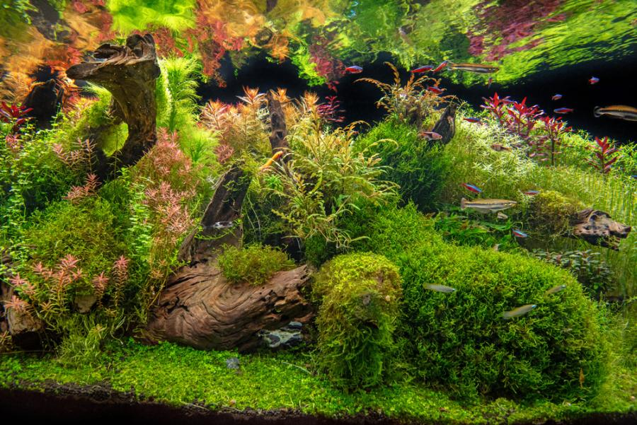 large planted aquarium with driftwood and colorful fish