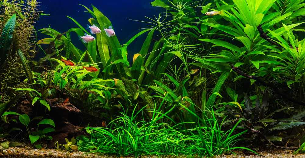 A green beautiful lush planted tropical freshwater aquarium with fishes
