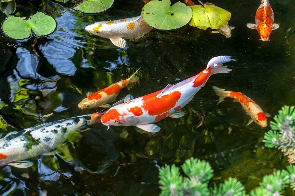 orange-and-white-koi-fish-pond