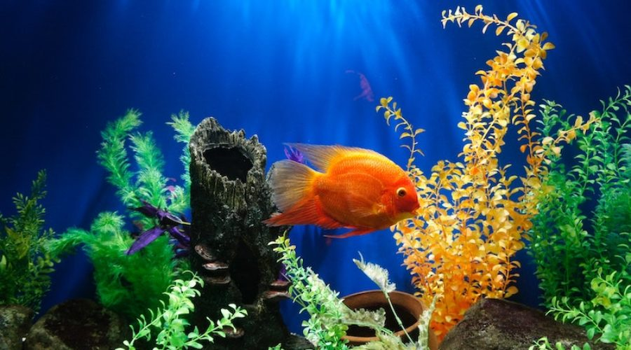 orange fish in tank with plants