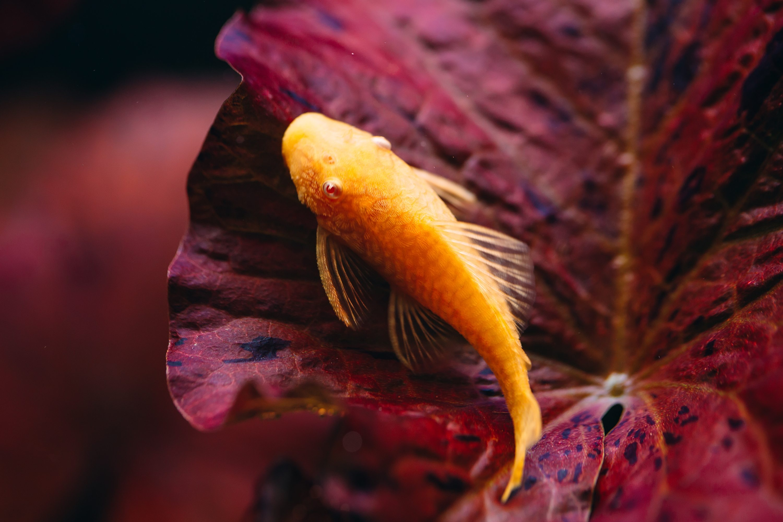orange pleco