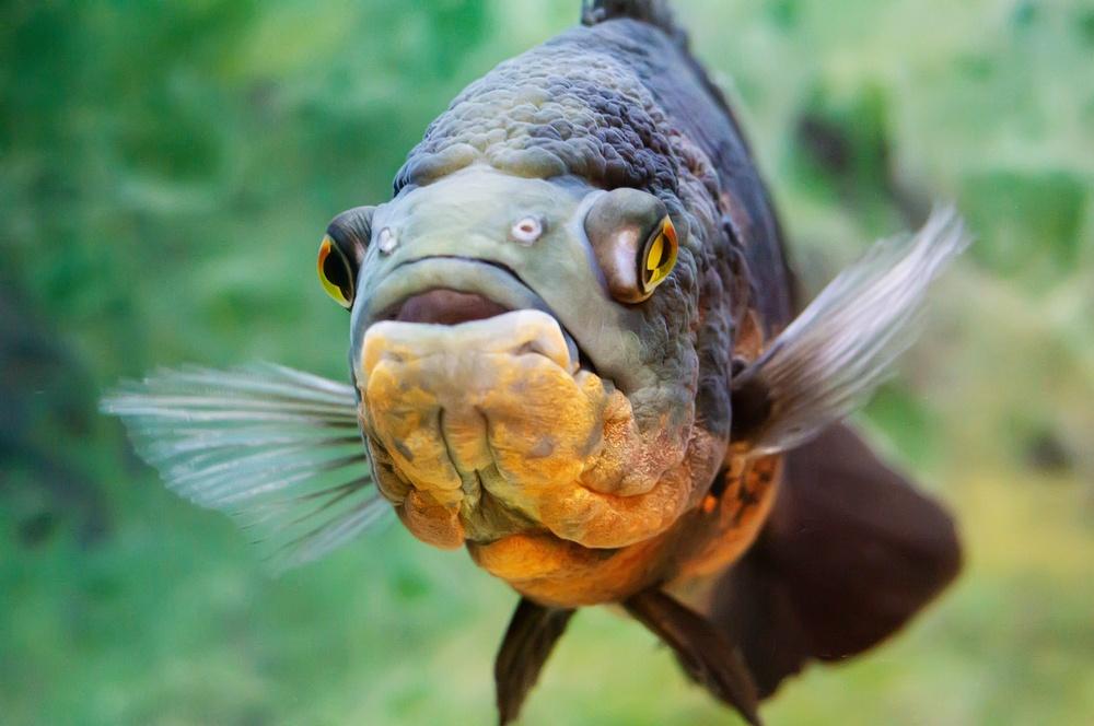 oscar fish close up