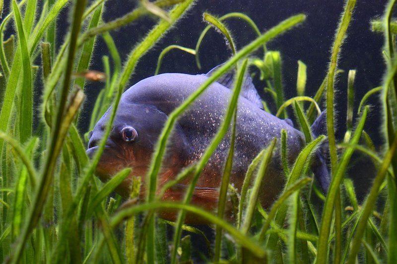pirhana hiding in aquarium plants