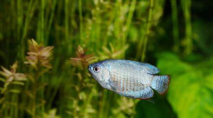 powder blue dwarf gourami