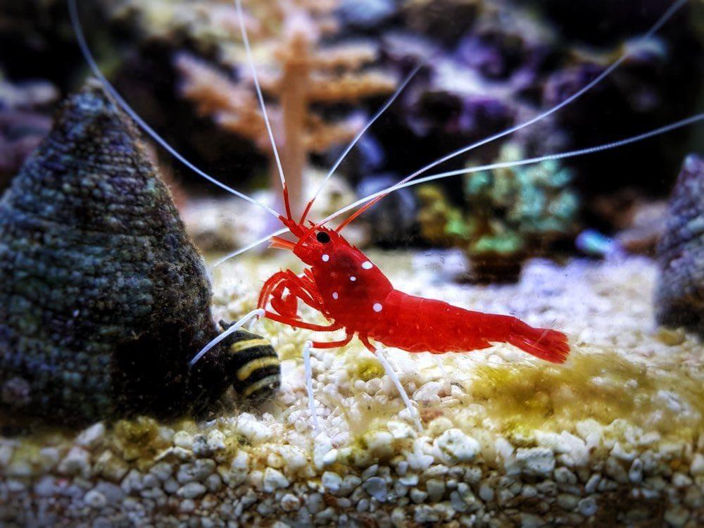 Red Blood saltwater cleaner shrimp - Lysmata Debelius