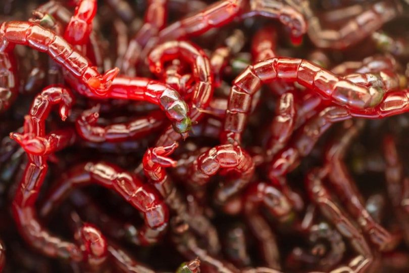 red bloodworms in a pile