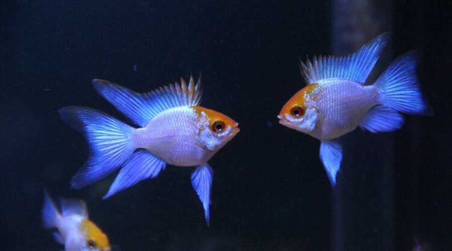two male cichlids fighting