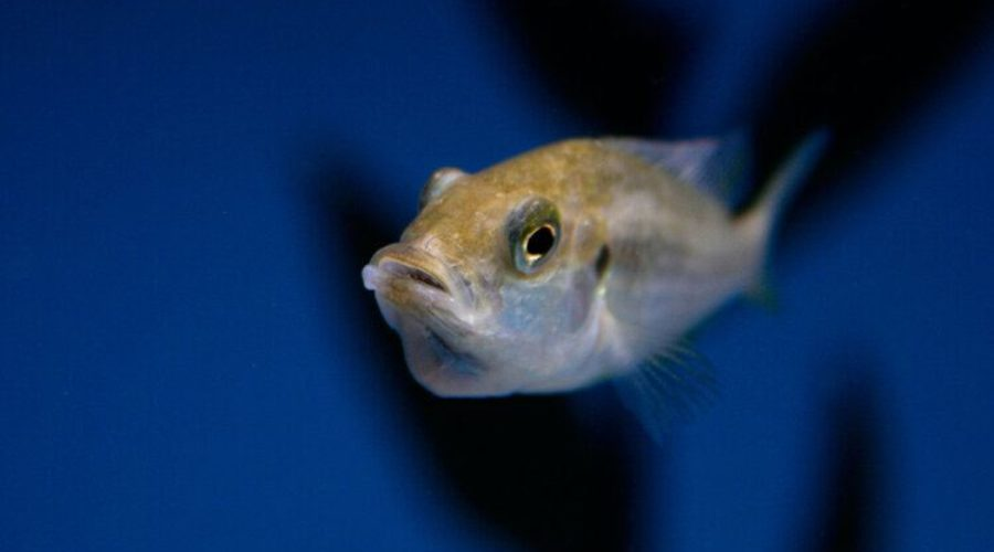 mouthbrooding cichlid