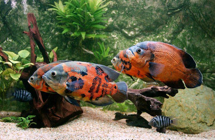 tiger stripe oscar fish