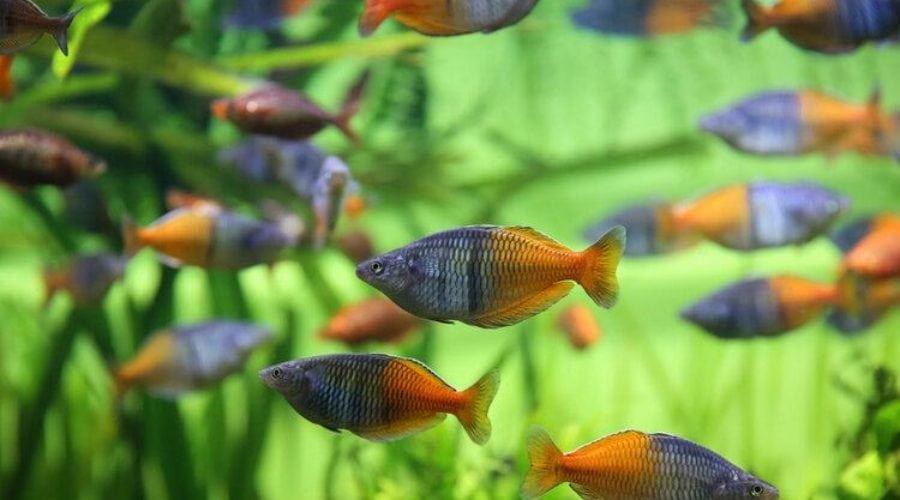 bosemans rainbowfish
