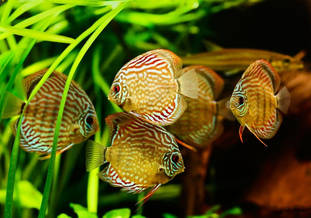 school of red and yellow discus