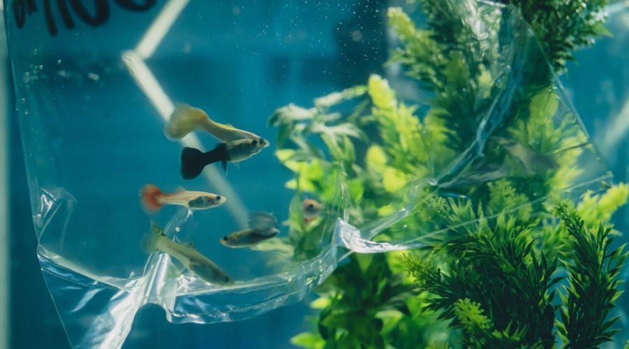 acclimatize fish in bag tank